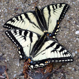 Two white and black butterflies Stock Photo