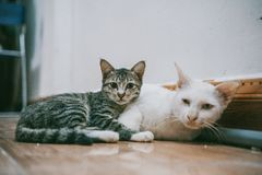 Two White and Black Cats Lying on Brown Wooden Surface royalty free stock images