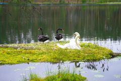 Two white and two black swans are sitting on a green meadow near the pond. royalty free stock photo