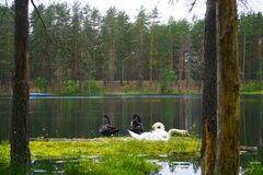 Two white and two black swans are sitting on a green meadow near the pond stock photography