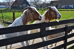 Two white and brown goats with a beard curiously peer out from behind a wooden fence. stock photography