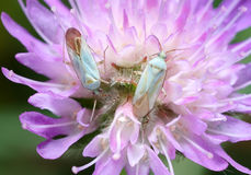 Two white bug on a flower. Royalty Free Stock Image