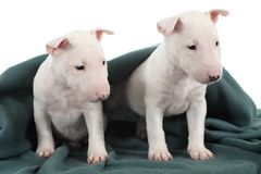Two white bull terrier puppies. Under a green blanket with a white background Royalty Free Stock Photography