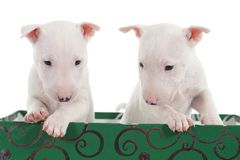 Two white bull terrier puppies in a green box. With a white background stock photography