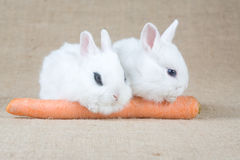 Two White Bunny And A Carrot Stock Photo