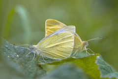 Two White butterflies making love Stock Images