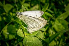 Two white butterflies mating royalty free stock photography