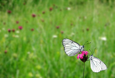 Two white butterflies on pink flower Stock Image