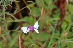 Two butterflies on the flower stock photos
