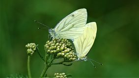 Two white butterflies sitting on a flower royalty free stock image