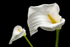 Two White Callas Stock Photography