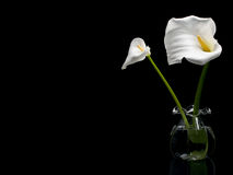 Two White Callas Royalty Free Stock Image