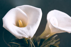 Two white callas Royalty Free Stock Photos