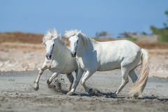 Two white camargue horses on the beach. Two of white camargue horses on the beach stock image
