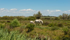 Two White Camargue horses walking on a field in Camargue, France. Two white Camargue horses out a grassy field a sunny day Stock Photos