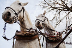Two white carriage horses Stock Photography