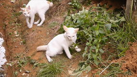 Two white cat playing stock video