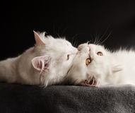Two white cats Royalty Free Stock Photos