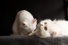 Two white cats Stock Images
