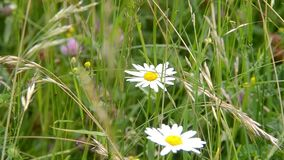 Two white chamomile in the green grass. The gGreen grass in the spring.rass grew tall.The back background is blurred stock video