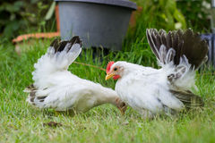Two white chicken Royalty Free Stock Photography