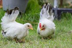Two white chicken. On green grass Stock Photos