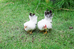 Two white chicken. On green grass Royalty Free Stock Photography