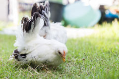 Two white chicken. On green grass Royalty Free Stock Photo