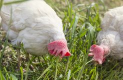 Two white chickens pecking for food in the garden.  stock image