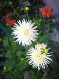 Two white chrysanthemums blooming in the grass. There are also some flower bones. Not far away, there are some faint red flowers stock photo