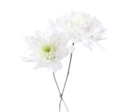 Two white chrysanthemums Royalty Free Stock Photo