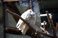 Two white cockatoos having a lovers quarrel Stock Photos