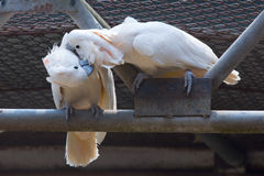 Two white cockatoos kiss together Royalty Free Stock Photography