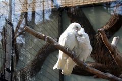 Two white cockatoos snuggling on tree branch. They like each other Stock Images