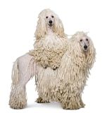 Two White Corded standard Poodles in front of white background. Isolated on white Royalty Free Stock Photography