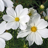 Two White Cosmos Flowers. Closeup of two pure white cosmos blooms against a frilly leaved background Stock Photo