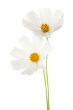 Two white Cosmos flowers isolated on white background. Garden Cosmos Stock Photo