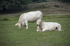 Two white cows in the grass at the farm Royalty Free Stock Images
