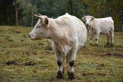 Two white cows on pasture. Royalty Free Stock Photos