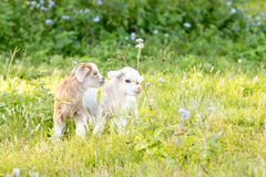 Two white and cream baby kid goats in grassy meadow royalty free stock photos