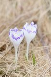 Two white crocus Royalty Free Stock Photography