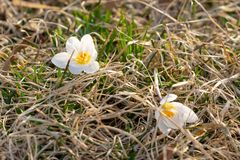 Two white crocuses, blooming in early spring, resting on a bed of grass, closeup royalty free stock photography