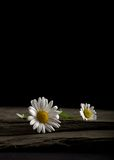 Two White Daisies on a Slate Slab. Two abandoned White Daisies left on a Slate slab Stock Photos