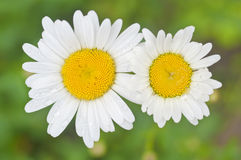 Two white daisy flowers Royalty Free Stock Photos