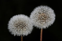 Two white dandelion on a black background.  Stock Photography