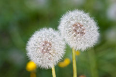 Two white dandelions Royalty Free Stock Photo