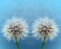 Two white dandelions Stock Images