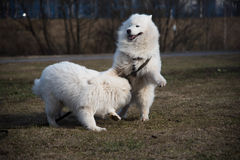 Two white dogs are fighting. Samoyed Laika Stock Photos