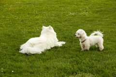 Two white dogs. On the green grass Royalty Free Stock Photos