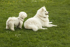 Two white dogs. On the green grass Stock Photos